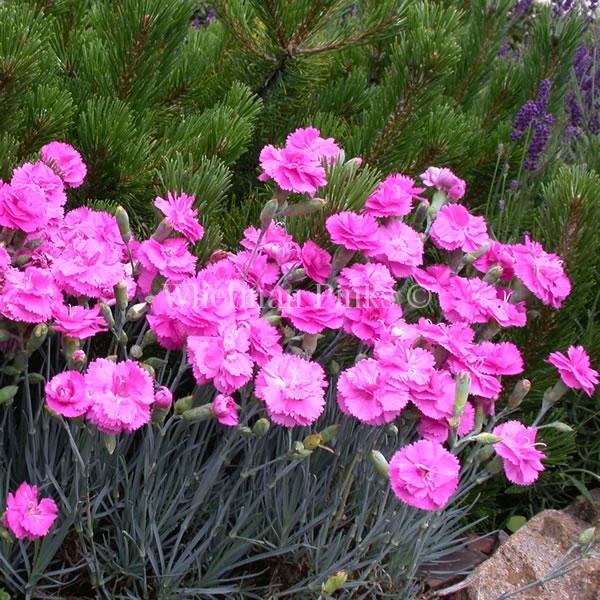 Il Dianthus Scent first Tickled Pink è un vero e proprio garofanino da vaso e da patio. Suggerisco di averlo sempre a portata di naso perchè se non prende gelo riesce a sorprendere con le sue fioriture invernali. Il suo profumo e dolce e incantevole tanto da rientrare in questa speciale sezione. Viene considerato un garofano da collezione.
