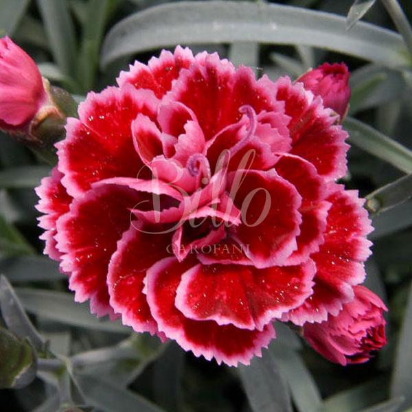 Il Dianthus diantica Burgundy si caratterizza per fiori piccoli e profumati