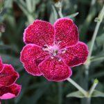 colore metallico con riflesso violaceo per il dianthus diantica wild berry
