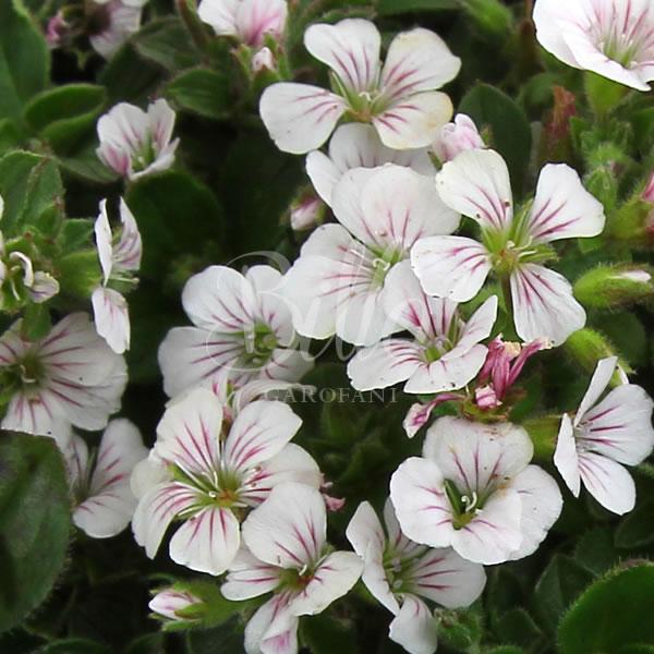 La gypsophila cerastoide è una bellissima pianta a cuscinetto dalla fioritura bianca molto profumata.