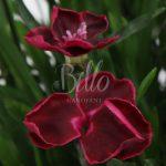 Colore di particolare pregio per il dianthus Diantica Velvet. Un Colore Purpureo Vellutato.