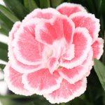 Il dianthus oscar white and red ha una delicata cromatura rosso corallo con merlatura bianca