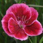 Selezione molto rustica quella del dianthus diantica raspberry Cream
