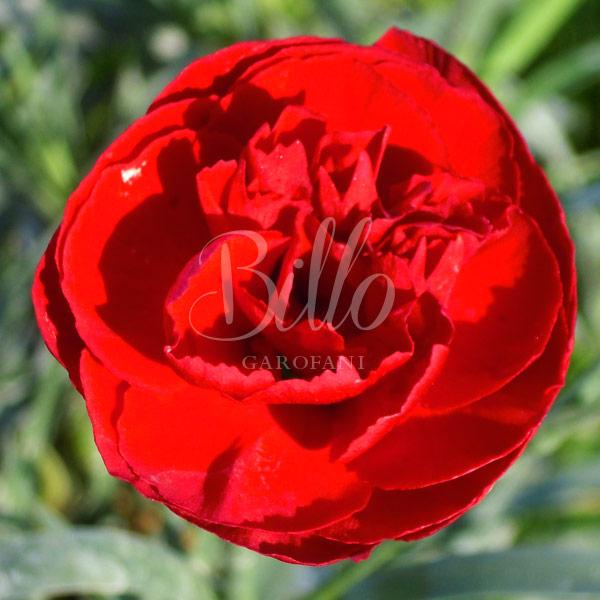 Il Dianthus Scent first Passion è un vero e proprio garofanino da vaso e da patio. Suggerisco di averlo sempre a portata di naso perchè se non prende gelo riesce a sorprendere con le sue fioriture invernali. Il suo profumo e dolce e incantevole tanto da rientrare in questa speciale sezione. Viene considerato un garofano da collezione.