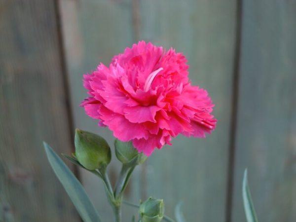 Ibrido del 2010 di origine inglese. Il dianthus alpin pinks Sherbet è un garofano molto versatile che suggerisco per l'uso da bordura o giardino roccioso e muretti contenitivi. Pianta molto rustica Presente nella nostra proposta di garofani da giardino perenni permanenti sono facili da usare e generosi nelle fioriture. Pianta disponibile in vendita nel nostro shop online. Pianta compatta con fiore alto fino a 15 cm circa, piacevolmente profumato che ricorda i fiori della nonna. Di particolare pregio la cromatura del fiore. Pianta con ottimo accestimento, circa 15 cm di diametro. Garofano di particolare interesse.