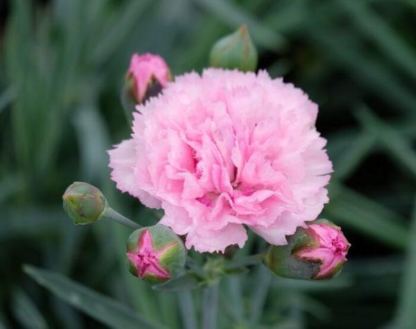 Il Dianthus Scent first Candy Floss è un vero e proprio garofanino da vaso e da patio. Suggerisco di averlo sempre a portata di naso perchè se non prende gelo riesce a sorprendere con le sue fioriture invernali. Il suo profumo e dolce e incantevole tanto da rientrare in questa speciale sezione. Viene considerato un garofano da collezione.