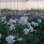 """""""Speranzina"""" questo termine largamente diffuso è utilizzato per descrivere i piccoli garofanini bianchi o rosa che venivano abitualmente utilizzati in bordure o aiuole, sono da inserire nella lista di chi vuole collezionare garofani perché sono piante di garofani antichi."""