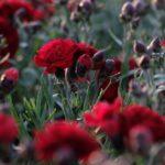 Il mondo dei dianthus offre una palette di colori veramente variegata, per tutti i gusti e per tutti gli abbinamenti. Il Dianthus Scent First Passion lo vedo un garofano dal colore importante che merita una giusta valorizzazione come ad esempio l'utilizzo del vaso in coccio o la valorizzazione di punti luce del giardino. Colore deciso e raffinato che stupisce. A mio Dire uno dei garofani da vaso rossi più significativi.