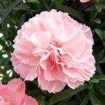Ibrido di recente inserimento. Dianthus super trouper giulia è un garofano nano con un colore rosa confetto interessante.