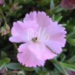 Il dianthus whatfield wisp ha un fiore rosa confetto che attira molto le api. è considerata una pianta mellifera.
