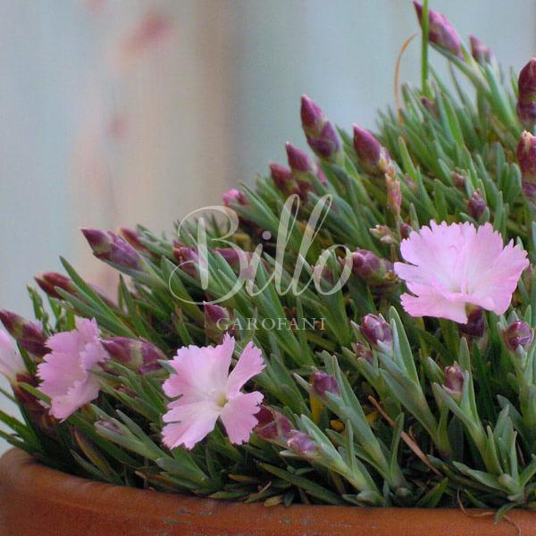 il dianthus whatfield wisp è una pianta di garofano molto compatta e rustica.