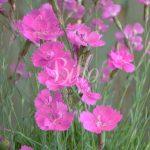 Anche il dianthus gratianopolitanus Eydangeri è una pianta di garofano in vendita nello shop billo