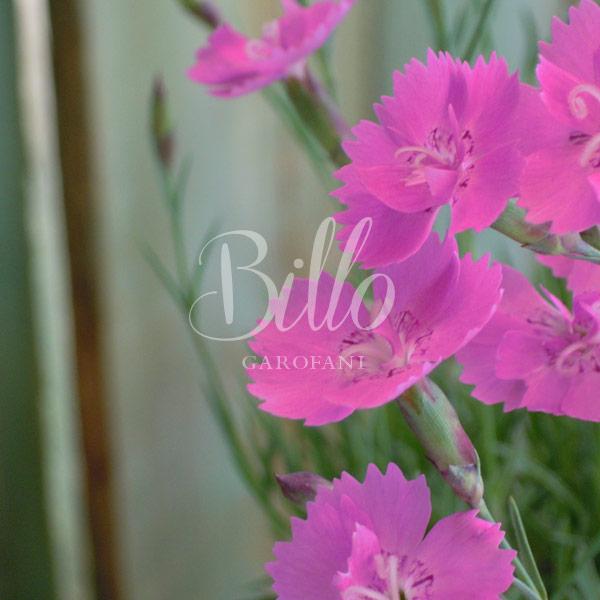 Il dianthus Gratianopolitanus Eydangeri è una pianta di garofano in vendita online billo dal straordinario colore rosa lilla