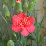 Ibrido del 2015 di origine inglese. Il dianthus alpin pinks Rosebud è un garofano molto versatile che suggerisco per l'uso da bordura o giardino roccioso e muertti contenitivi. Pianta molto rustica Presente nella nostra proposta di garofani da giardino perenni permanenti sono facili da usare e generosi nelle fioriture. Pianta disponibile in vendita nel nostro shop online. Pianta compatta con fiore alto fino a 15 cm circa, piacevolmente profumato che ricorda i fiori della nonna. Di particolare pregio la cromatura del fiore. Pianta con ottimo accestimento, circa 15 cm di diametro. Garofano di particolare interesse.