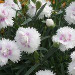 Dianthus diantica whitw+eye ha dei fiorellini bianchi con gola rossa.