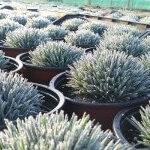 il dianthus whatfield magenta ha un cespuglio fitto e compatto dal colore glauco.