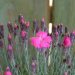 il dianthus whatfield magenta è un garofanino dal fiore di colore magenta che ne da il nome alla pianta