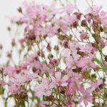 La Gypsophila repens roseus è una pianta montana che vive spontanea nelle Alpi e nei Pirenei da quota 600-2900 mt