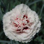 Il dianthus Garden Pinks Cranmere Pool è un garofano che suggerisco per l'uso da bordura, Cottage Garden o da orto per la raccolta degli steli a fiore recisi durante tutta la bella stagione e per arrichire di fiori l'orto. Facile da usare anche in container da 2 litri. Presente nella nostra proposta di garofani da giardino perenni permanenti sono facili da usare e generosi nelle fioriture.Pianta disponibile in vendita nel nostro shop online. Ibridato di origine inglese, Fiore alto 30 cm piacevolmente profumato che ricorda i fiori della nonna. Di particolare pregio la cromatura del fiore. Pianta con ottimo accestimento, circa 30 cm di diametro. Garofano da collezione.