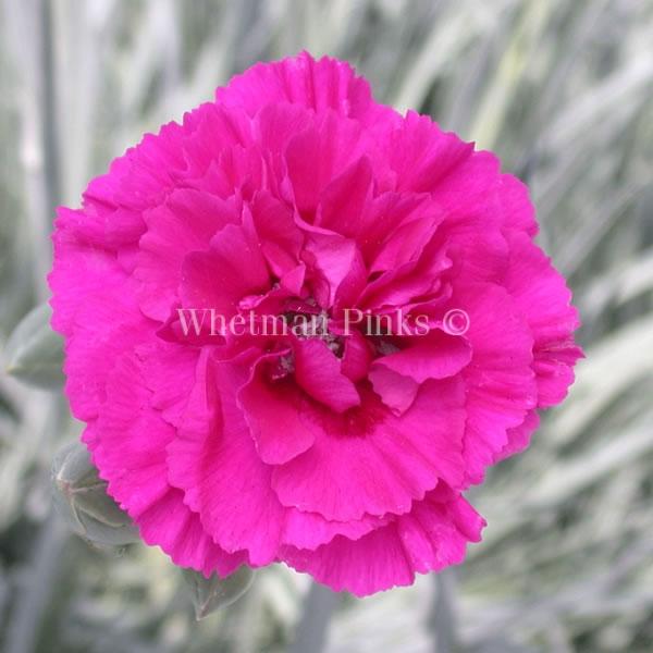 Il dianthus Garden Pinks ' Devon Wizard' è un garofano che suggerisco per l'uso da bordura o da orto per la raccolta degli steli a fiore recisi durante tutta la bella stagione e per arrichire di fiori l'orto.Presente nella nostra proposta di garofani da giardino perenni permanenti sono facili da usare e generosi nelle fioriture.Pianta disponibile in vendita nel nostro shop online. Ibridato nel 1992 di origine inglese, Fiore alto 30 cm piacevolmente profumato che ricorda i fiori della nonna. Di particolare pregio la cromatura del fiore. Pianta con ottimo accestimento, circa 30 cm di diametro. Garofano per collezionisti.