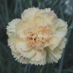 Ibrido del 1988. Garofano da collezione.Il dianthus Garden Pinks Devon Cream è un garofano che suggerisco per l'uso da bordura, Cottage Garden o da orto per la raccolta degli steli a fiore recisi durante tutta la bella stagione e per arrichire di fiori l'orto. Facile da usare anche in container da 2 litri. Presente nella nostra proposta di garofani da giardino perenni permanenti sono facili da usare e generosi nelle fioriture. Pianta disponibile in vendita nel nostro shop online. Ibridato di origine inglese, Fiore alto 30 cm piacevolmente profumato che ricorda i fiori della nonna. Di particolare pregio la cromatura del fiore. Pianta con ottimo accestimento, circa 30 cm di diametro.