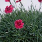 Ibrido del 1996 di origine inglese. Il dianthus alpin pinks Red Dwarf è un garofano molto versatile che suggerisco per l'uso da bordura o giardino roccioso e muertti contenitivi. Pianta molto rustica Presente nella nostra proposta di garofani da giardino perenni permanenti sono facili da usare e generosi nelle fioriture. Pianta disponibile in vendita nel nostro shop online. Pianta compatta con fiore alto fino a 15 cm circa, piacevolmente profumato che ricorda i fiori della nonna. Di particolare pregio la cromatura del fiore. Pianta con ottimo accestimento, circa 15 cm di diametro. Garofano di particolare interesse.