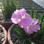 Ibrido del 1997 di origine inglese. Il dianthus alpin pinks Pixie Star è un garofano molto versatile che suggerisco per l'uso da bordura o giardino roccioso e muertti contenitivi. Pianta molto rustica Presente nella nostra proposta di garofani da giardino perenni permanenti sono facili da usare e generosi nelle fioriture. Pianta disponibile in vendita nel nostro shop online. Pianta compatta con fiore alto fino a 15 cm circa, piacevolmente profumato che ricorda i fiori della nonna. Di particolare pregio la cromatura del fiore. Pianta con ottimo accestimento, circa 15 cm di diametro. Garofano di particolare interesse.