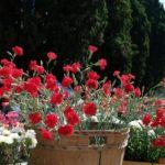 Il dianthus Garden Pinks Lady in Red è un'ottima cultivar da utilizzare anche in vaso per valorizzare e fare allestimento in angoli di giardino o patio. E' tra i pochissimi ibridi di origine inglese che abbiamo inserito nella sezione dei garofani penduli.