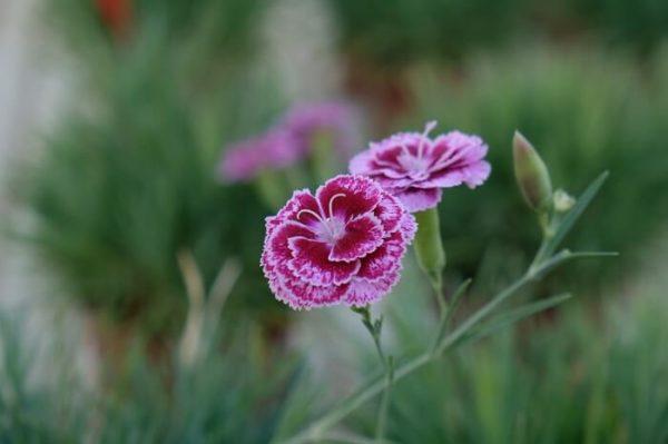 Ibrido del 2001. Garofano da collezione. Il dianthus Garden Pink Moulin Rouge è un garofano che suggerisco per l'uso da bordura, Cottage Garden o da orto per la raccolta degli steli a fiore recisi durante tutta la bella stagione e per arrichire di fiori l'orto. Facile da usare anche in container da 2 litri. Presente nella nostra proposta di garofani da giardino perenni permanenti sono facili da usare e generosi nelle fioriture. Pianta disponibile in vendita nel nostro shop online. Ibridato di origine inglese, Fiore alto 30 cm piacevolmente profumato che ricorda i fiori della nonna. Di particolare pregio la cromatura del fiore. Pianta con ottimo accestimento, circa 30 cm di diametro.