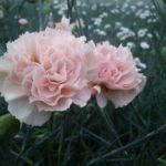 Ci capita spesso di scrivere nei vari social o nelle nostre news del dianthus Garden Pinks Widecombe Fair! E' un garofano di straordinaria bellezza e dalla cromatura delicata. A mio dire è uno dei garofani più signorili che manifesta un senso di evoluta eleganza.
