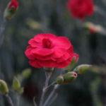 Ibrido del 1980. Garofano da collezione.Il dianthus Garden Pink Houndspool Cheryl è un garofano che suggerisco per l'uso da bordura, Cottage Garden o da orto per la raccolta degli steli a fiore recisi durante tutta la bella stagione e per arrichire di fiori l'orto. Facile da usare anche in container da 2 litri. Presente nella nostra proposta di garofani da giardino perenni permanenti sono facili da usare e generosi nelle fioriture. Pianta disponibile in vendita nel nostro shop online. Ibridato di origine inglese, Fiore alto 30 cm piacevolmente profumato che ricorda i fiori della nonna. Di particolare pregio la cromatura del fiore. Pianta con ottimo accestimento, circa 30 cm di diametro.