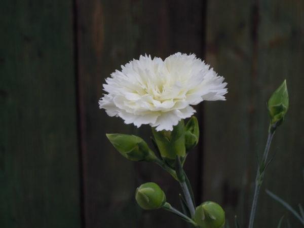 Il Dianthus Scent first Memories è un vero e proprio garofanino da vaso e da patio. Suggerisco di averlo sempre a portata di naso perchè se non prende gelo riesce a sorprendere con le sue fioriture invernali. Il suo profumo e dolce e incantevole tanto da rientrare in questa speciale sezione. Viene considerato un garofano da collezione.