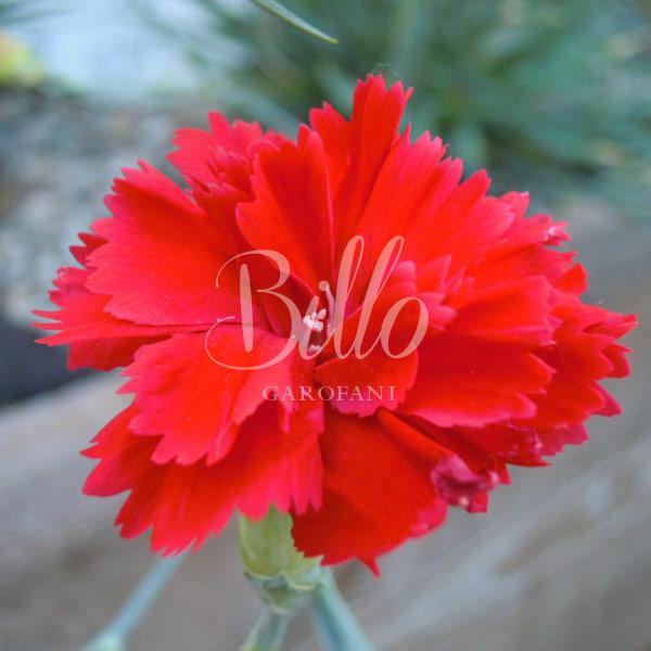 Ibrido del 2010. Garofano da collezione. Il dianthus Garden Pink Lady in Red è un garofano che suggerisco per l'uso da bordura, Cottage Garden o da orto per la raccolta degli steli a fiore recisi durante tutta la bella stagione e per arricchire di fiori l'orto. Facile da usare anche in container da 2 litri. Presente nella nostra proposta di garofani da giardino perenni permanenti sono facili da usare e generosi nelle fioriture. Pianta disponibile in vendita nel nostro shop online. Ibridato di origine inglese, Fiore alto 30 cm piacevolmente profumato che ricorda i fiori della nonna. Di particolare pregio la cromatura del fiore. Pianta con ottimo accestimento, circa 30 cm di diametro.