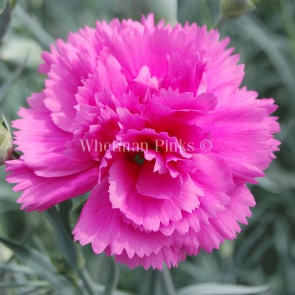Il dianthus Garden Pinks ' lili the pink' è un garofano che suggerisco per l'uso da bordura o da orto per la raccolta degli steli a fiore recisi durante tutta la bella stagione e per arrichire di fiori l'orto. Presente nella nostra proposta di garofani da giardino perenni permanenti sono facili da usare e generosi nelle fioriture.Pianta disponibile in vendita nel nostro shop online. Ibridato nel 2018 di origine inglese, Fiore alto 30 cm piacevolmente profumato che ricorda i fiori della nonna. Di particolare pregio la cromatura del fiore. Pianta con ottimo accestimento, circa 30 cm di diametro. Garofano per collezionisti. Sinonimo 'WP05 Idare'.