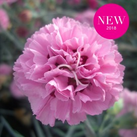 Il dianthus Garden Pinks 'Pink ruffles' è un garofano che suggerisco per l'uso da bordura o da orto per la raccolta degli steli a fiore recisi durante tutta la bella stagione e per arrichire di fiori l'orto. Presente nella nostra proposta di garofani da giardino perenni permanenti sono facili da usare e generosi nelle fioriture.Pianta disponibile in vendita nel nostro shop online. Ibridato nel 2018 di origine inglese, Fiore alto 30 cm piacevolmente profumato che ricorda i fiori della nonna. Di particolare pregio la cromatura del fiore. Pianta con ottimo accestimento, circa 30 cm di diametro. Garofano per collezionisti.