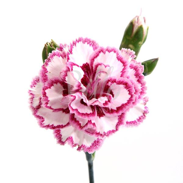 Il dianthus Garden Pinks gran's favorite è un garofano da orto bordura che abbiamo in coltivazione ibridato nel 1966, Fiore alto 30 cm piacevolmente profumato. Garofano per collezionisti