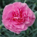 Ibrido del 1977. Garofano da collezione. Il dianthus Garden Pink Valda Wyatt è un garofano che suggerisco per l'uso da bordura, Cottage Garden o da orto per la raccolta degli steli a fiore recisi durante tutta la bella stagione e per arrichire di fiori l'orto. Facile da usare anche in container da 2 litri. Presente nella nostra proposta di garofani da giardino perenni permanenti sono facili da usare e generosi nelle fioriture. Pianta disponibile in vendita nel nostro shop online. Ibridato di origine inglese, Fiore alto 30 cm piacevolmente profumato che ricorda i fiori della nonna. Di particolare pregio la cromatura del fiore. Pianta con ottimo accestimento, circa 30 cm di diametro.