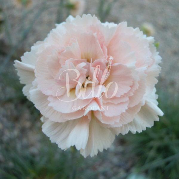 Ibrido del 1982. Garofano da collezione. Il dianthus Garden Pink Widecombe Fair è un garofano che suggerisco per l'uso da bordura, Cottage Garden o da orto per la raccolta degli steli a fiore recisi durante tutta la bella stagione e per arrichire di fiori l'orto. Facile da usare anche in container da 2 litri. Presente nella nostra proposta di garofani da giardino perenni permanenti sono facili da usare e generosi nelle fioriture. Pianta disponibile in vendita nel nostro shop online. Ibridato di origine inglese, Fiore alto 30 cm piacevolmente profumato che ricorda i fiori della nonna. Di particolare pregio la cromatura del fiore. Pianta con ottimo accestimento, circa 30 cm di diametro.