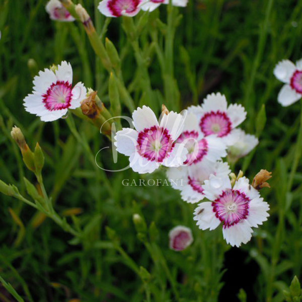 il dianthus deltoides arctic fire si caratterizza da un particolare colore bianco del fiore conbottone rosso.