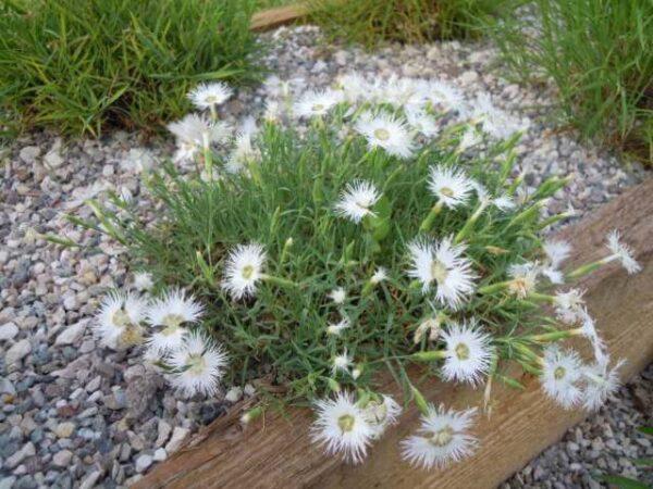 Il dianthus arenarius è un garofanino molto frangiato bianco profumato.