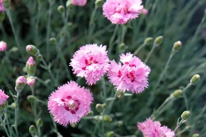 vendita piante online di garofano dianthus plumarius maggie con il suo interessante colore rosa con gola rosso fuksia