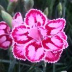 Ibrido del 2007 di origine inglese. Il dianthus alpin pinks Starburst è un garofano molto versatile che suggerisco per l'uso da bordura o giardino roccioso. Pianta molto rustica Presente nella nostra proposta di garofani da giardino perenni permanenti sono facili da usare e generosi nelle fioriture. Pianta disponibile in vendita nel nostro shop online. Pianta compatta con fiore alto fino a 15 cm circa, piacevolmente profumato che ricorda i fiori della nonna. Di particolare pregio la cromatura del fiore. Pianta con ottimo accestimento, circa 15 cm di diametro. Garofano di particolare interesse.