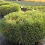 Il plumarius è una pianta di garofano molto vigorosa adatta al portamento pendente.