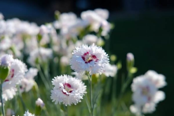 Il dianthus Plumarius Ine è una pianta di garofano in vendita online dal colore bianco avorio con gola rossa