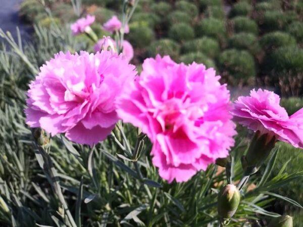 il Dianthus plumarius roseus viene spesso ricordato come un garofanino antico detto anche garofano della nonna dal colore rosa con un piacevole profumo