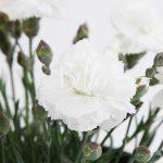 Ibrido del 2005 di origine inglese. Il dianthus alpin pinks Arctic Star è un garofano molto versatile che suggerisco per l'uso da bordura o giardino roccioso. Pianta molto rustica Presente nella nostra proposta di garofani da giardino perenni permanenti sono facili da usare e generosi nelle fioriture. Pianta disponibile in vendita nel nostro shop online. Pianta compatta con fiore alto fino a 15 cm circa, piacevolmente profumato che ricorda i fiori della nonna. Di particolare pregio la cromatura del fiore. Pianta con ottimo accestimento, circa 15 cm di diametro. Garofano di particolare interesse.