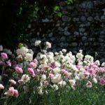 Il Dianthus Plumarius è una pianta di garofano largamente diffusa che veniva utilizzata anche in orto.
