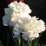il dianthus plumarius albus è un garofanino bianco anche detto garofano della nonna.
