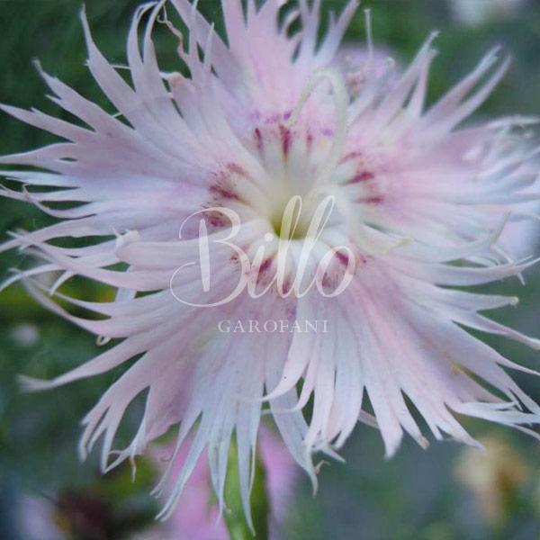 Il Dianthus Monspessulanus o garofano di Montpellier ha un fiore fortemente frangiato, è un garofano selvatico molto profumato di origine Europa centro-meridionale.