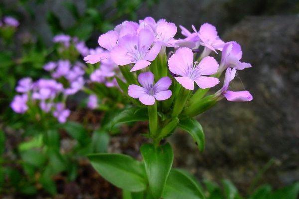 """Dianthus japonicus Thunb. I nomi giapponesi sono Hama-nadeshiko o Fuji-nadeshiko. """"Hama"""" significa """"spiaggia"""" o """"costa"""" e """"Fuji"""" significa il colore del fiore del glicine giapponese"""